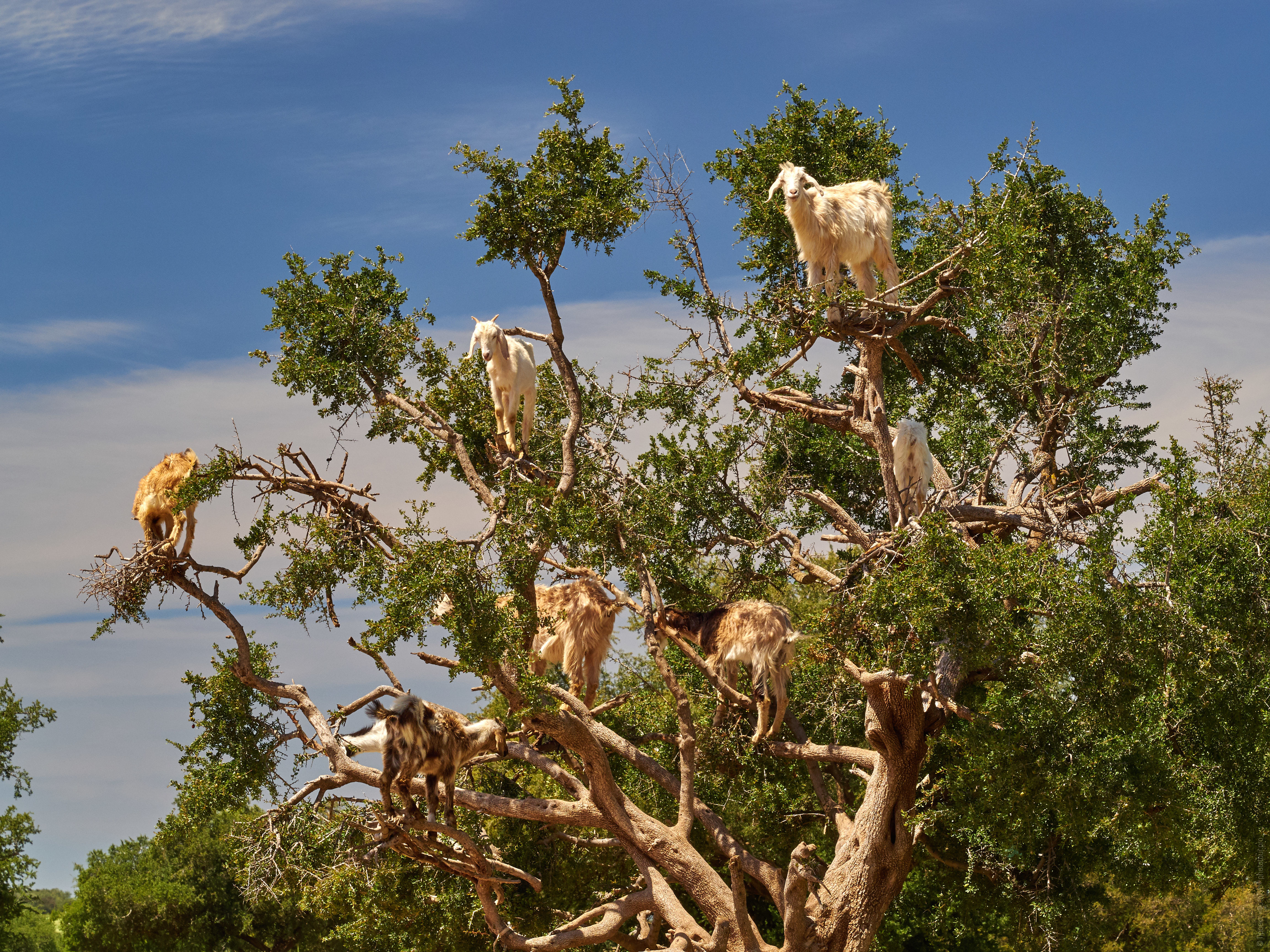 Goats on trees in morocco. Adventure photo tour: medina, cascades, sands and ports of Morocco, April 4 - 17, 2020.