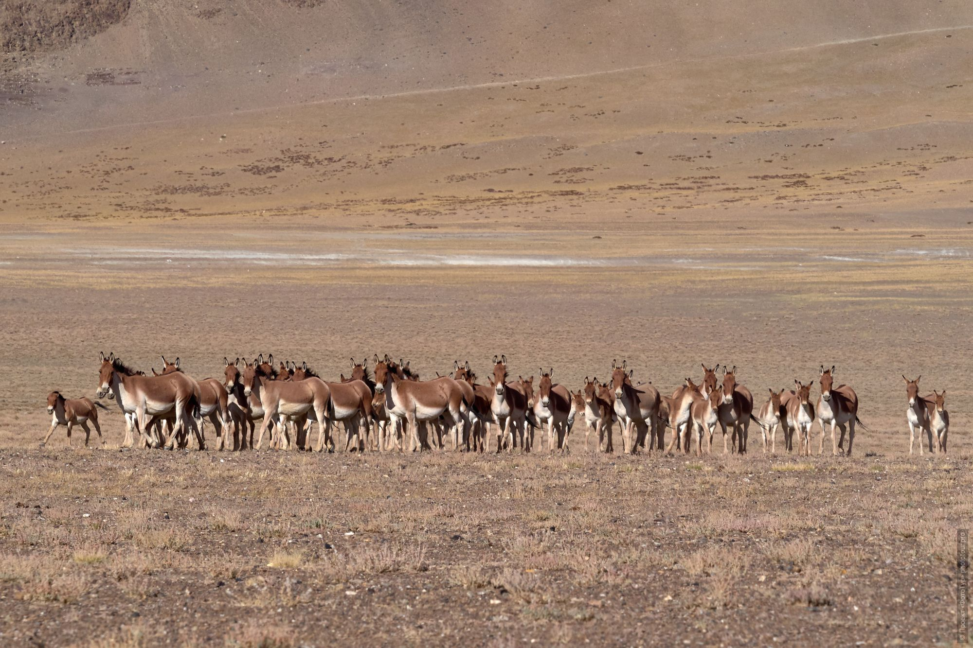 A herd of wild donkeys, or kiangs on Lake Tso Kar. Photo tour / tour Tibet of Lake-1: Pangong, Tso Moriri, Tso Kar, Tso Chiagar, Dance of Tsam on Lake Pangong, 19.06. - 28.06.2021.