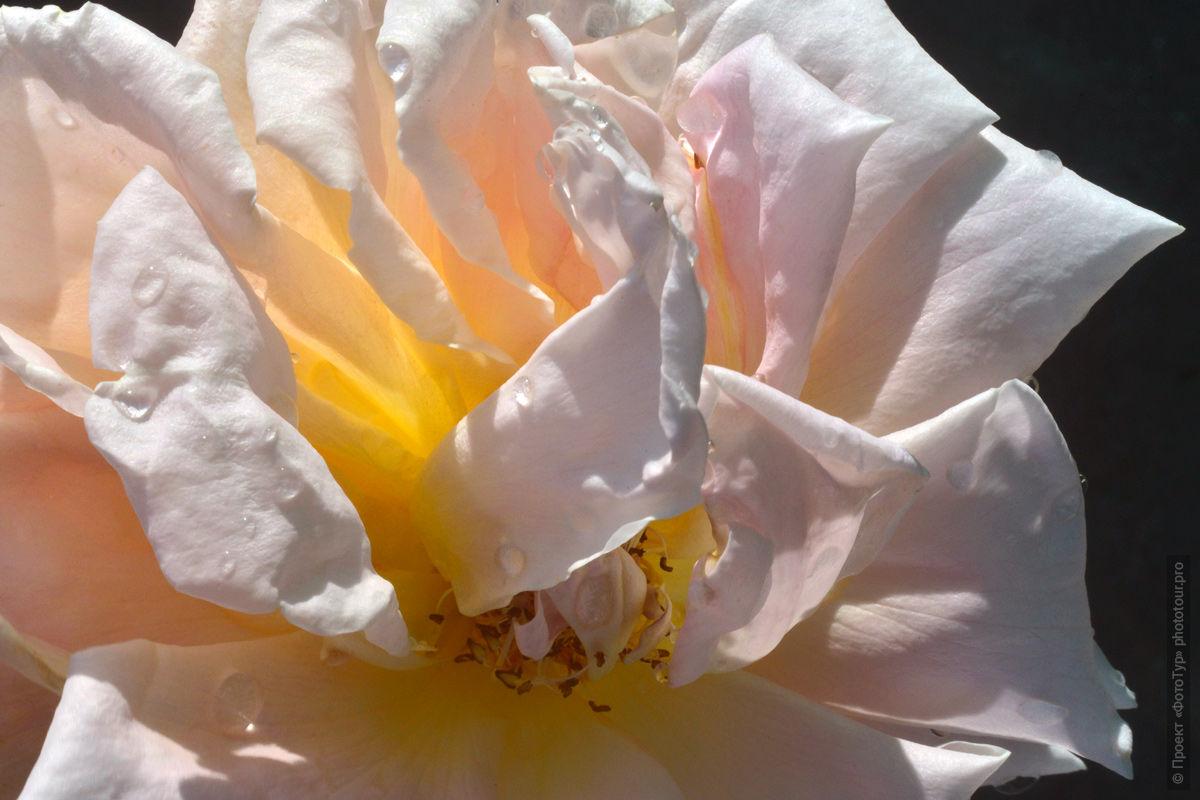 Роза из нашего сада в Лехе, Ладакх. Туры в Ладакх.