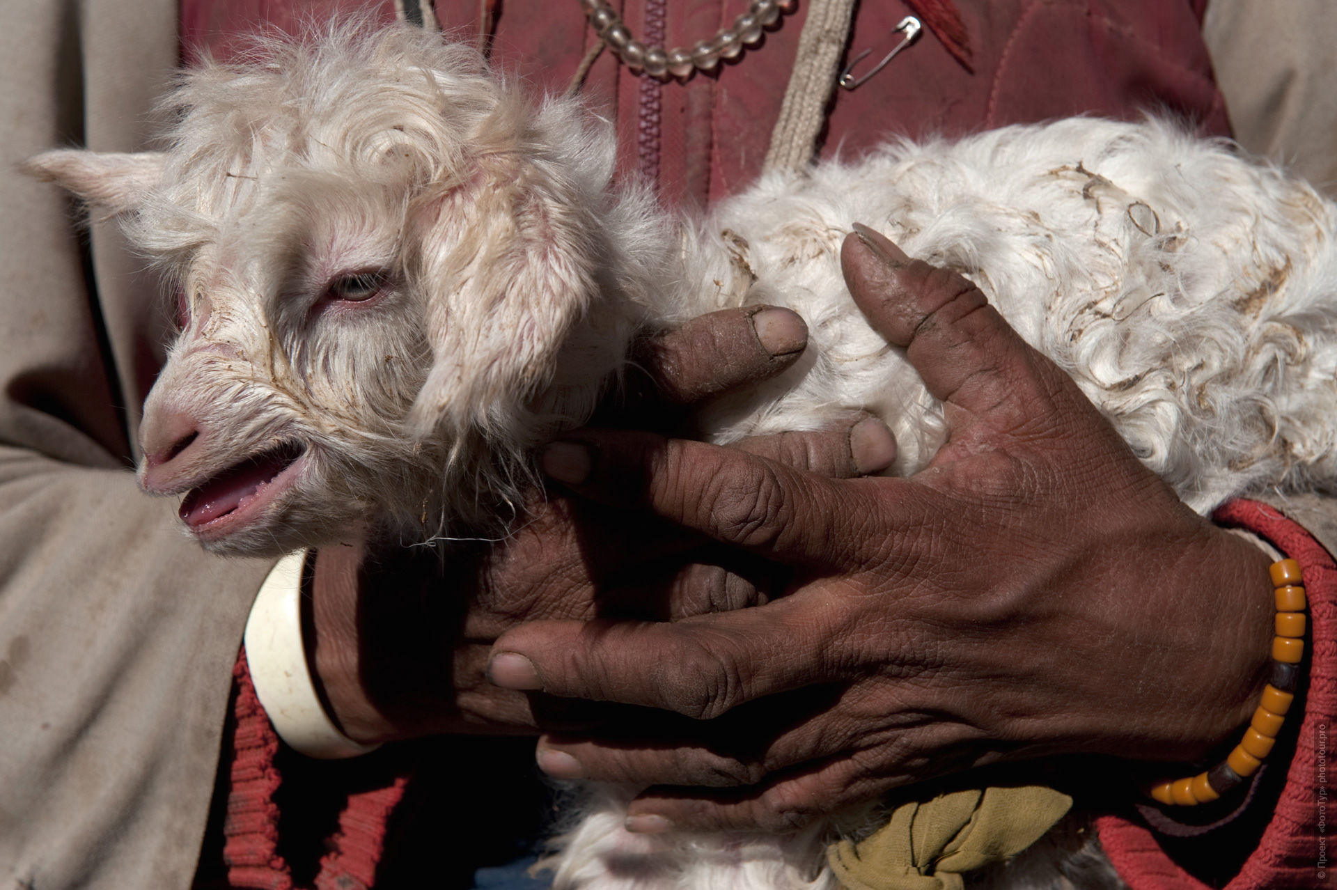 Newborn sheep on the hands of a shepherd. Photo tour to Tibet for the Winter Mysteries in Ladakh, Stok and Matho monasteries, 01.03. - 03/10/2020